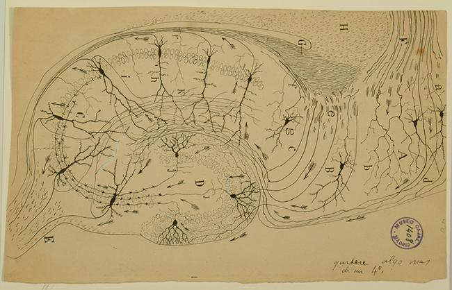 santiago-ramon-y-cajal-estructura-y-conexiones-del-asta-de-ammon-y-la-direccion-del-impulso-nervioso