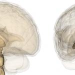 El daño cerebral también puede afectar al sistema endocrino